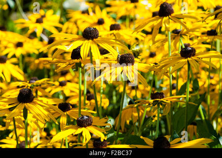 Big display of beautiful golden and pink Rudbeckia flowers in sunshine with butterflies and bees resting on the - Stock Image