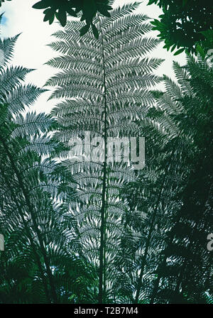 The lacelike quality of the leaves of the Dicksonia Antarctica seen from below - Stock Image