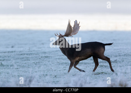 Fallow Deer (Dama dama), Black Buck Running, during the Rut, Royal Deer Park, Klampenborg, Copenhagen, Sjaelland, - Stock Image