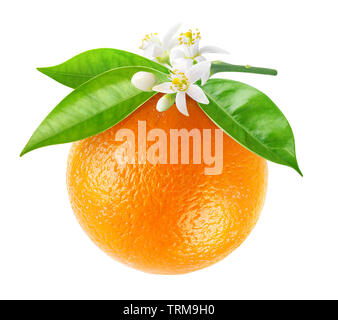 Isolated orange fruit on a branch. Hanging orange fruit with flowers and leaves isolated on white background with clipping path - Stock Image