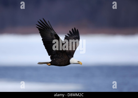 Bald Eagle (Haliaeetus leucocephalus) flying over the Mississippi River in winter - Minnesota, USA. - Stock Image