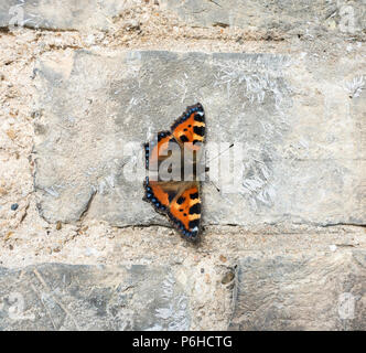 Small tortoiseshell butterfly warming up on wall - Stock Image