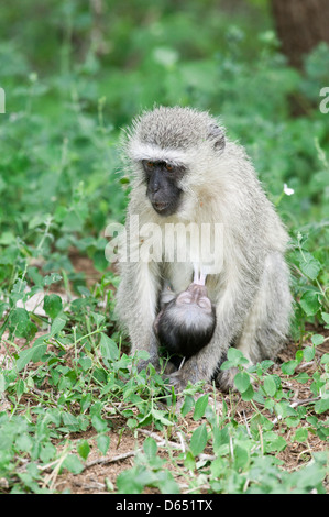 Close up portrait image of a Vervet monkey Chlorocebus pygerythrus suckling her baby - Stock Image