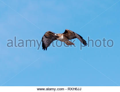 Red-tailed Hawk, Buteo jamaicensis, flying in Arizona USA - Stock Image