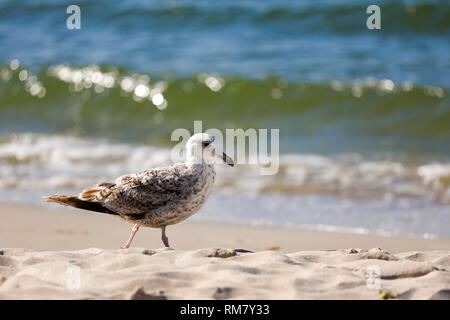 One lonely seagull visited the Baltic coast in Kolobrzeg. - Stock Image