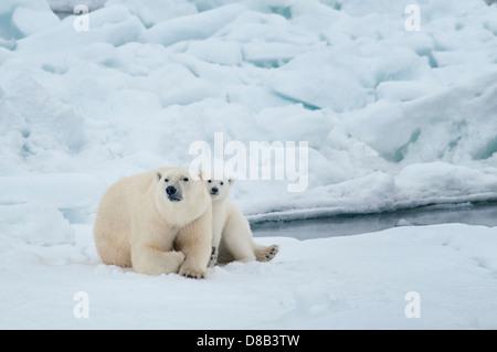 Polar Bear Mother with Cub, cuddling together, Ursus maritimus, Olgastretet Pack Ice, Spitsbergen, Svalbard Archipelago, - Stock Image
