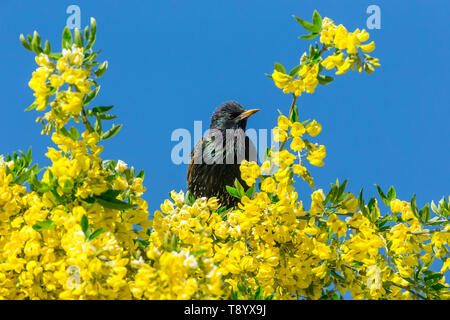 Starling, Scientific name: Sturnus Vulgaris. perched in Laburnum Tree with bright yellow flowers.  Clean blue Sky background. Facing right. Landscape - Stock Image