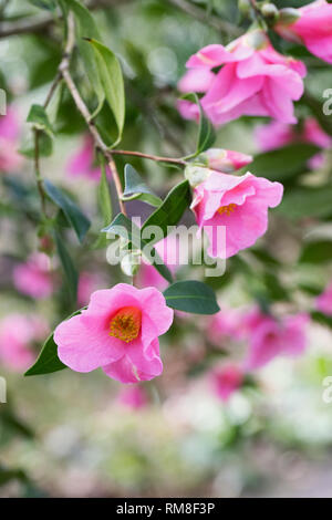 Camellia x williamsii 'Bow Bells' flowers. - Stock Image