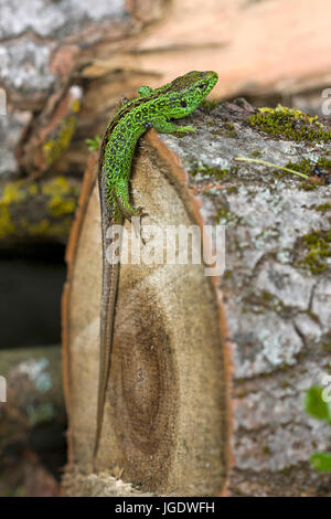 Fence lizard, Lacerta agilis little man, Zauneidechse (Lacerta agilis) Männchen - Stock Image