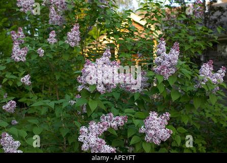 Lilac flowers, Germantown, NY, USA - Stock Image