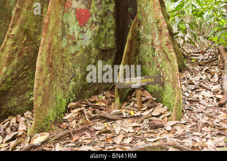 Root of Durian tree Coelostegia borneensis, with sign - Stock Image