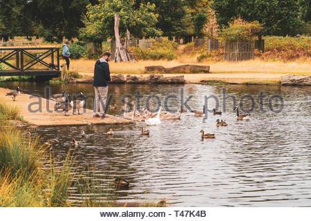 Man feeding birds in bushy park - Stock Image