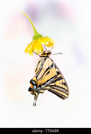 A Western Tiger Swallowtail (Papilio rutulus) hanging from a yellow flower - side view - on a plain background - Stock Image