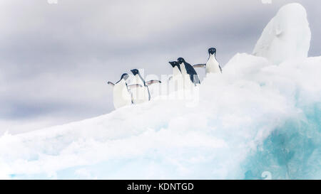 Five adelie penguins looking playful on an iceberg in Antarctica. - Stock Image