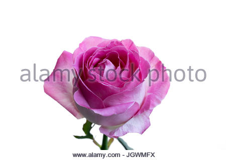 Pink and white rose close-up white background - Stock Image