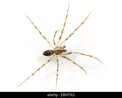 A male Invisible spider (Drapetisca socialis), on white background. It gets its name from beeing hard to spot on - Stock Image