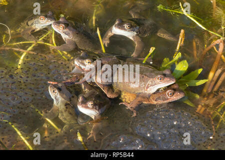 Common Frog, Rana temporaria, one pair, male and female among many males waiting on frog spawn for females to arrive for spawning, - Stock Image