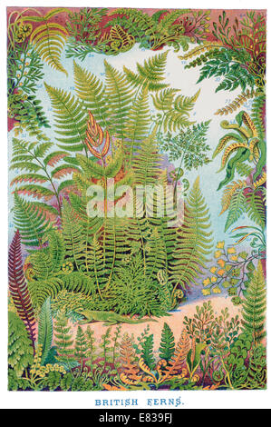 Lithograph British Ferns circa 1885 - Stock Image