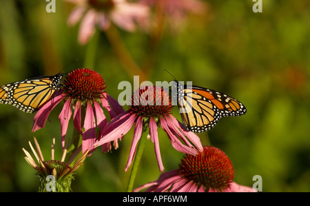 Monarch Butterflies on flowers, Jericho, Vermont USA - Stock Image