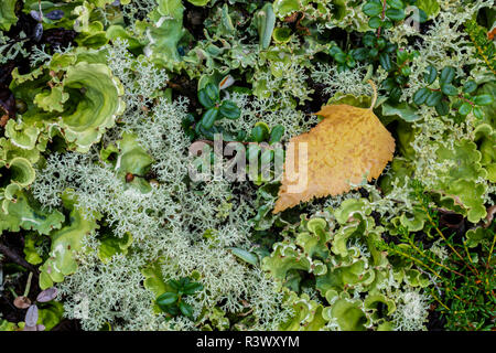 USA, Alaska. Fall birch leaf on lichens. - Stock Image