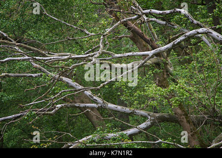 Fallen sycamore tree during spring along the Middle Patuxent River in Howard County, Maryland - Stock Image