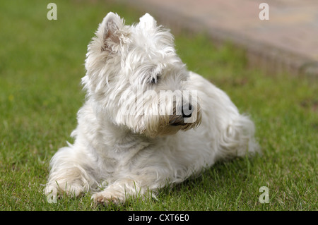 West Highland Terrier lying in the grass - Stock Image