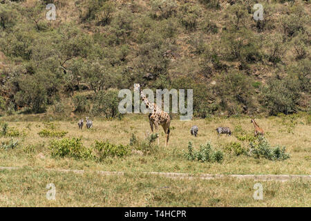 Masai Giraffe and zebras, Hells Gate National Park, Kenya - Stock Image