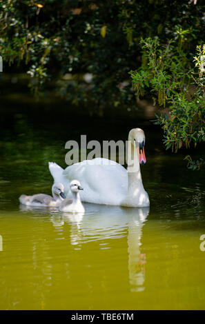Brighton UK 1st June 2019 - A Mute Swan takes their cygnets for a day out on Queens Park pond in Brighton as they enjoy the hot sunshine with temperatures forecast to reach 28 degrees in some parts of the South East today . Credit : Simon Dack /Alamy Live News - Stock Image
