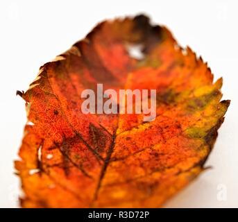 Autumn leaf on a white background - Stock Image