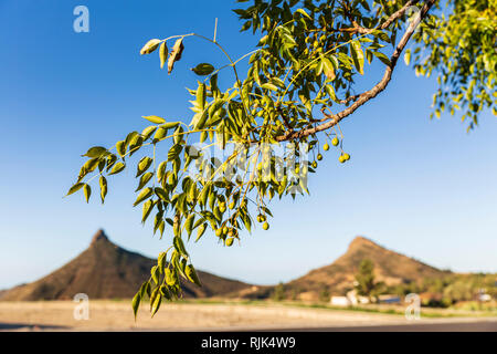 Olive tree branch hanging over the Roque Imoque landscape in Ifonche, Arona, Tenerife, Canary Islands, Spain - Stock Image