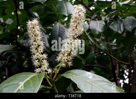 Flowers of the Evergreen Portugese Laurel tree - Prunus Lusitanica - Stock Image