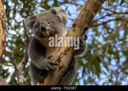 Koala perched on eucalyptus tree, Hanson Bay Wildlife Sanctuary, Kangaroo Island, South Australia - Stock Image