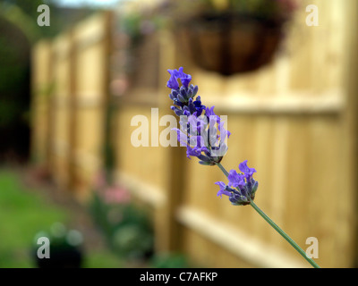 flowering purple lavender (Lavandula) head in a garden with wooden fence behind - Stock Image