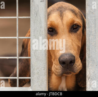 A young bloodhound puppy - about 16 weeks old - looking through the bars of his kennel - Stock Image
