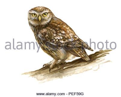 little owl athene noctua - Stock Image