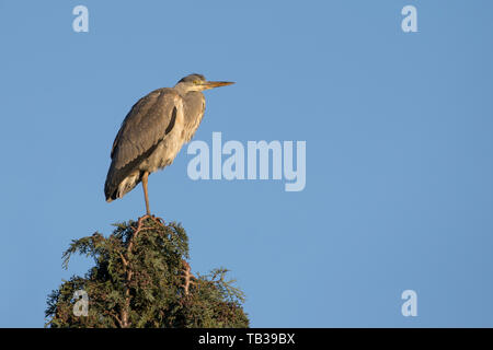 Close-up, side view of wild, British grey heron bird (Ardea cinerea) isolated, perched up high in UK tree top, enjoying morning winter sunshine. - Stock Image