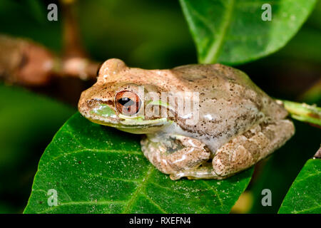 Cuban treefrog resting on the leaf - Stock Image