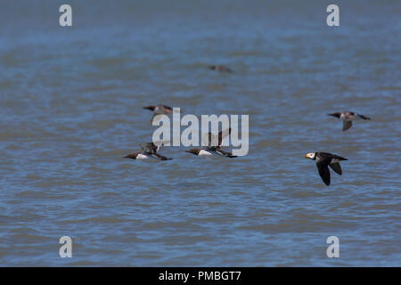 Murres and Horned Puffin in flight, Lake Clark National Park, Alaska. - Stock Image