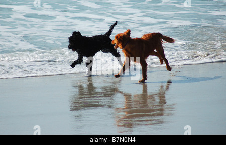Two dogs playing on beach. - Stock Image