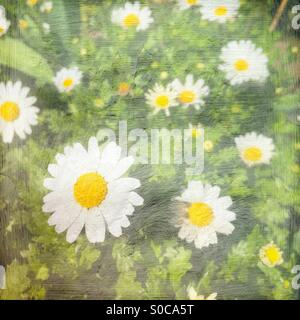 Bright white daisies with painterly texture overlay. - Stock Image