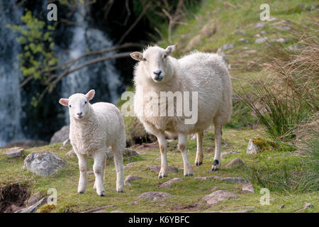 Two Mountain sheep, an ewe and a lamb, standing on a grassed area in front of a waterfall in Brecon Beacons National - Stock Image