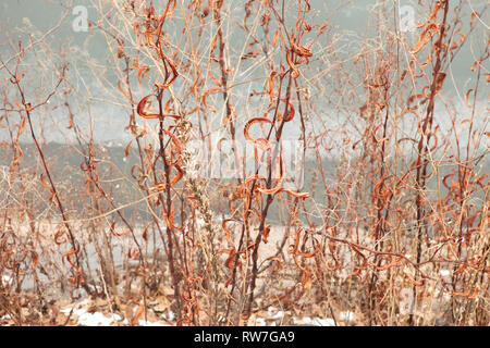 Dried Orange Leaves on Tall Grasses in Winter - Stock Image
