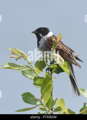 A male reed bunting (Emberiza schoeniclus) Dungeness Nature Reserve, Dungeness, Kent, UK. - Stock Image
