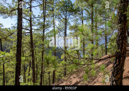 Canary Island pine (pinus canariensis) regrowth following a forest fire in 2016 La Palma Island, Canary Islands, Spain - Stock Image