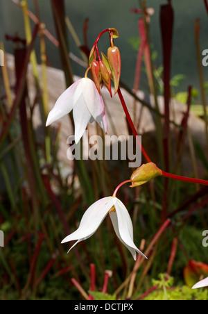 Flowers of the Sun Pitcher, Heliamphora nutans, Sarraceniaceae. Venezuela, Brazil and Guayana. A Carnivorous Plant. - Stock Image
