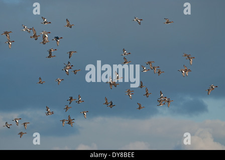 European Wigeon (Anas penelope) flying over coastal marsh in Britain during winter - Stock Image