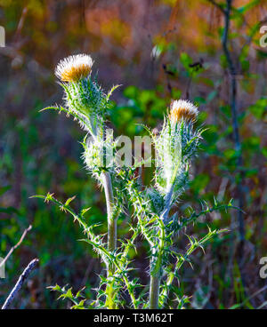 A thistle plant in Okefenokee swamp, with colorful, blurred green and orange background bokeh. The thistle is the floral emblem of Scotland. - Stock Image