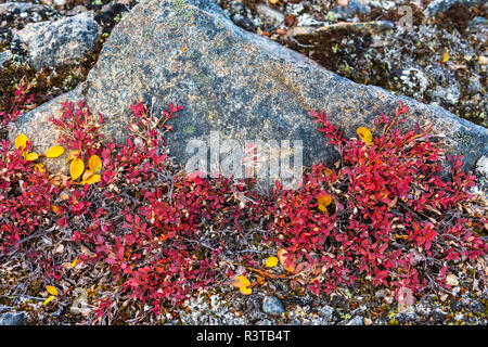 Greenland. Kong Oscar Fjord. Dream Bay. Arctic blueberries growing against a rock. - Stock Image