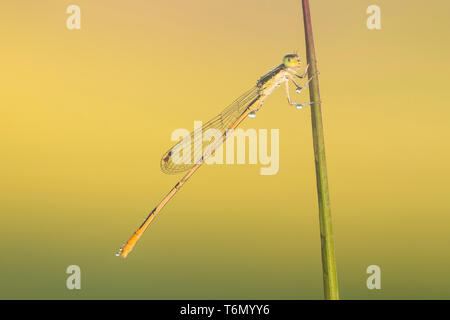 A male Citrine Forktail (Ischnura hastata) perches on a blade of grass in the early morning. - Stock Image
