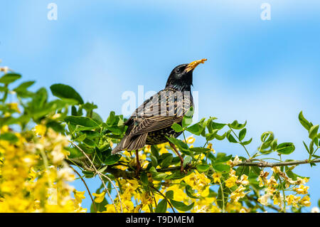 Starling, Scientific name: Sturnus Vulgaris. perched in Laburnum Tree with bright yellow flowers.  Dried mealworms in beak. Clean blue Sky background. - Stock Image